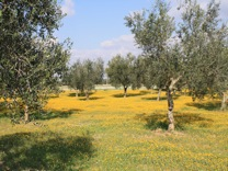 Typical olive grove in Autumn